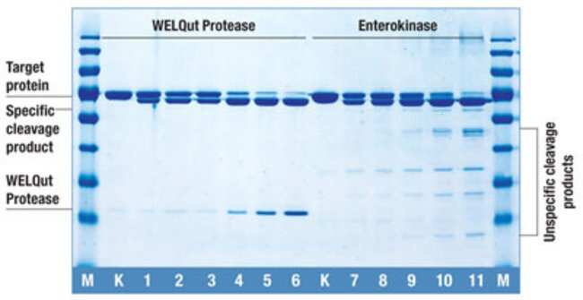 Target protein (Klenow Fragment (exo-), containing WELQut or Enterokinase recognition sequence) was treated with WELQut Protease and Enterokinase according to the recommendations provided by the suppl